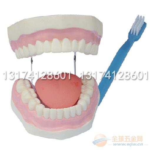幼儿园科学室科学物品科学发现室器材牙模型厂家直销