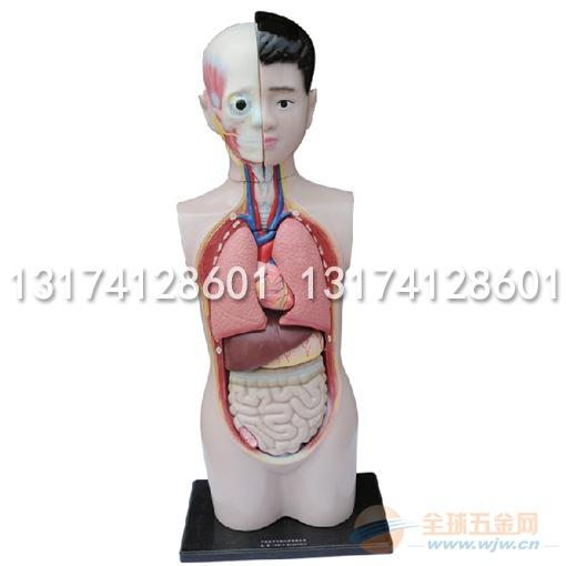 幼儿园科学发现室材料人体半身模型生命世界认识厂家直销批发