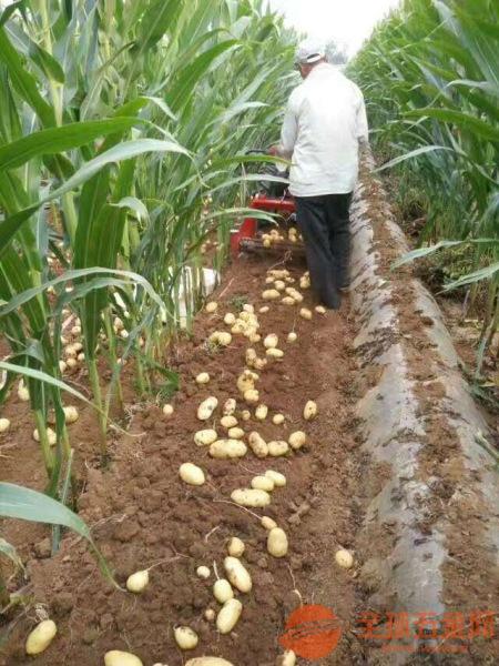 适用于各种地下根茎农作物 全自动土豆收获机马铃薯收获机