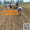 大蒜自动播种机 大蒜播种机图片