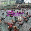 销售养鸡场专用荷兰网