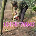 耐用汽油挖树机 铲头式断根起树机 轻便耐用挖树机