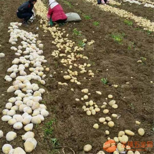红薯收获机
